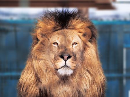 Lion close-up with clever eyes isolated  Stock Photo