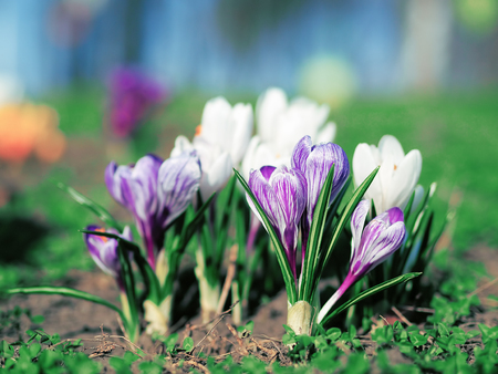 Crocuses at the green grass at spring Stock Photo