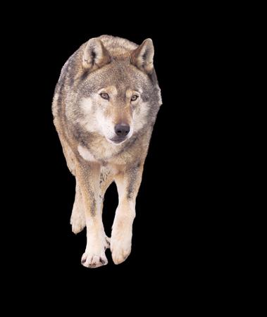 Wolf running grey full size cute