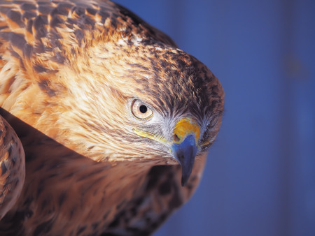 Eagle brown serious head  close-up Stock Photo