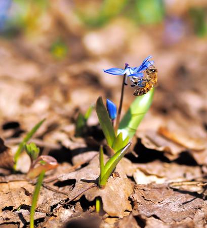 Bumble bee at snowdrops at spring Stock Photo