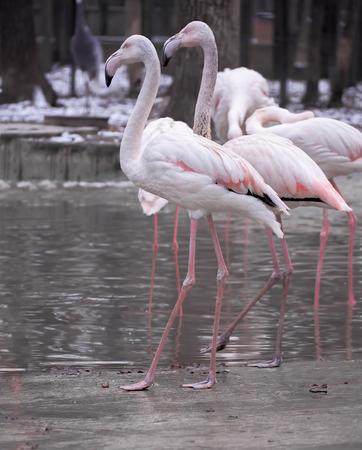 Pink flamingo close-up Stock Photo