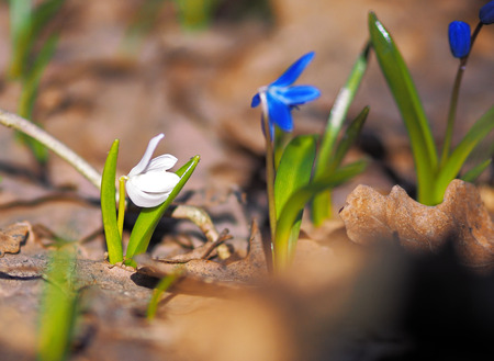 snowdrops at spring Stock Photo