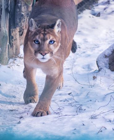 Puma at the snow dangerous close-up Stock Photo