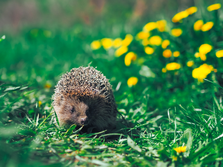 Hedgehog traveling at the green grass