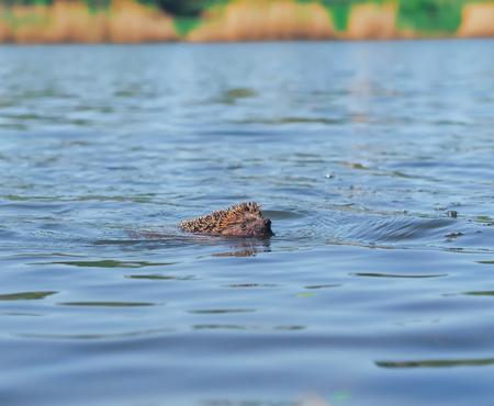 Hedgehog sweaming at the pond