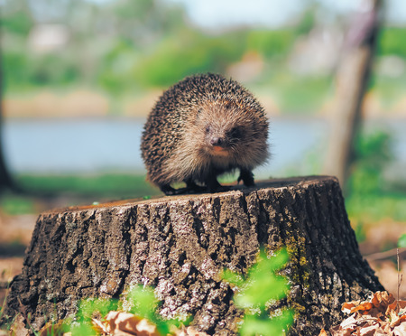 Hedgehog traveling at the forest