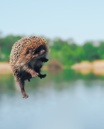 Hedgehog flying at the air over the lake