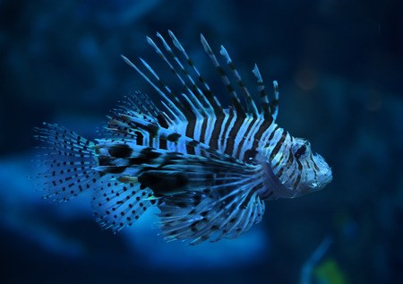 Fish blue Pterois volitans at the deep ocean close up turning down