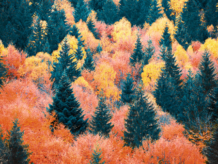 Autumn forest with pines at the mountains