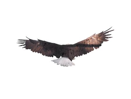 Eagle with opened wings isolated