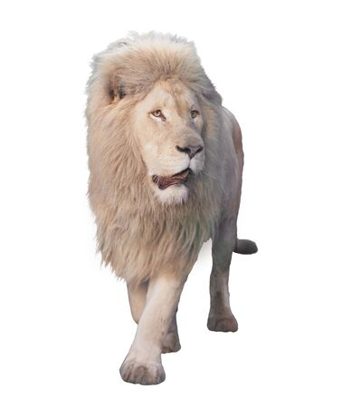 Lion walking and looking at camera isolated at white