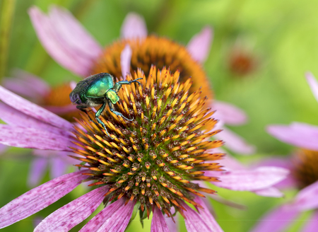 Chafer eats pollen on the flower of Echinacea