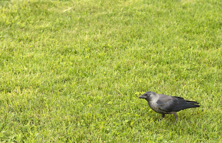 Rook with gray-black plumage walks through the meadow with bright green grass