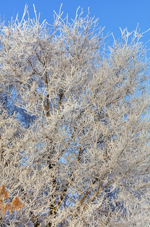 The branches of an ash-tree in the frost are thickly wrapped in hoarfrost and illuminated by gentle sunlight against a blue sky.
