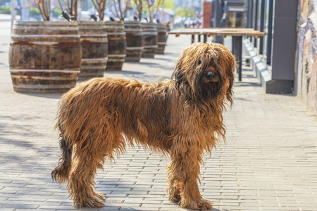 Portrait of a French shaggy brown shepherd dog Briar of brown color on the background of old beer barrels and paved street city sidewalk. Banque d'images