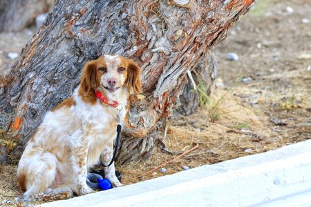 The Dutch spaniel Kooiker Hound, fiery red, sits in the park near the trunk of a large pine tree and carefully watches what is happening.
