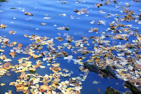 Fallen yellow leaves float on the blue surface of the lake in the water. Autumn season in October and November.
