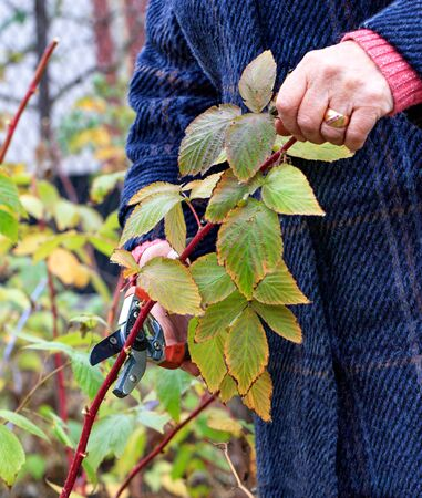 Gardener using a garden pruner cuts and rejuvenates a raspberry bush in an autumn garden for a good harvest next year, image vertical with copy space. Stock fotó
