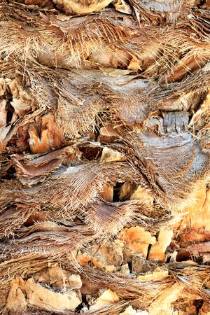 Image of rough texture, background and details of a brown bark of a date palm trunk with cut leaves, close-up.