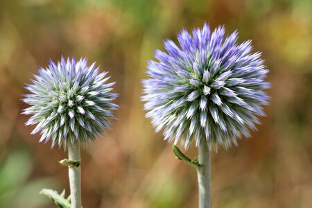 Beautiful and unusual round flowers of a thistle of a spherical shape of lilac color close-up on a blur background. Stock Photo