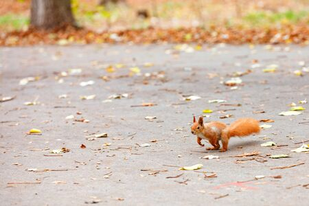The fluffy orange squirrel carefully peers into the distance for refreshments and prepares to jump on the park's autumn path, place for text.