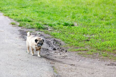 A sad pug walks along the edge of a country road amid a green grass lawn.