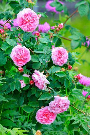 Fresh and bright flowering bush of pink tea rose in a spring garden. Banco de Imagens