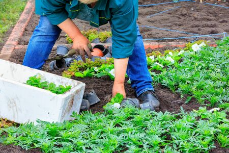 The farmer, bending over the seedlings of flowers, plants a flowerbed with his own hands and removes weeds from the soil.