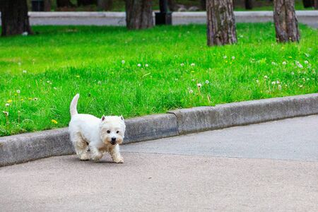 A purebred adult West Highland White Terrier dog walks in a city park amid a grassy meadow on a spring day.