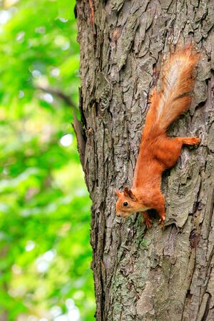 The orange fluffy squirrel carefully runs down head the tree trunk in the forest, clinging with sharp claws on its paws and listening to the surroundings, copying space. Standard-Bild
