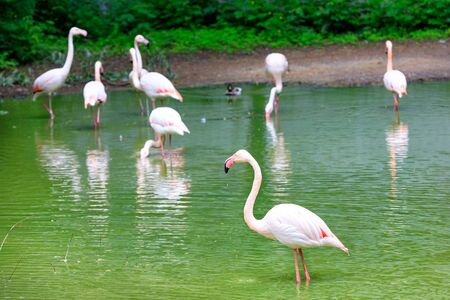 A family of large graceful pink flamingos in the shallow water of a forest lake shore. Wildlife concept. Selective focus. 免版税图像