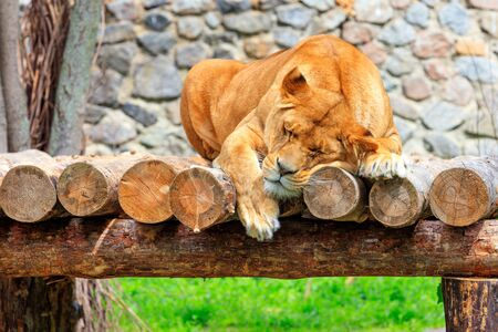 A large adult lioness sleeps peacefully on a platform of wooden logs on a blurred background of a stone wall and green grass. Copy space, close-up.