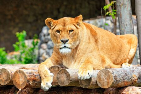 A large adult lioness lies on a platform of wooden logs and carefully looks directly in front of herself.