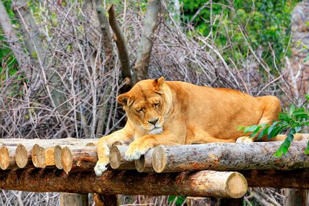 A large adult lioness peacefully sleeping in the sun on a wooden platform and takes warm sun baths. Banco de Imagens