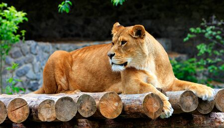 A large adult lioness lies on a platform of wooden logs and carefully looks to the left. Stock Photo