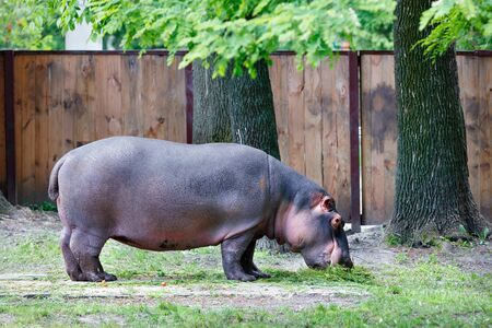 A large hippopotamus is a herbivorous, semi-aquatic mammal, dines with green grass near large oaks. Banco de Imagens