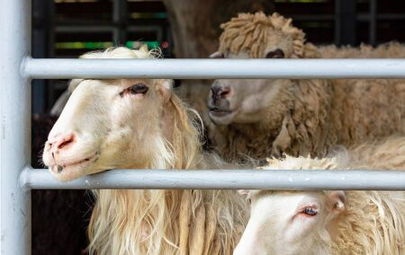 White sheep peeping out of a metal grate, farm corral, close-up. Banco de Imagens