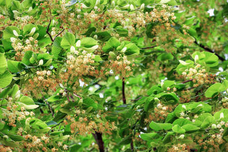 The branches of the linden tree are densely dotted with fresh orange-yellow fragrant flowers and leaves. Selective focus