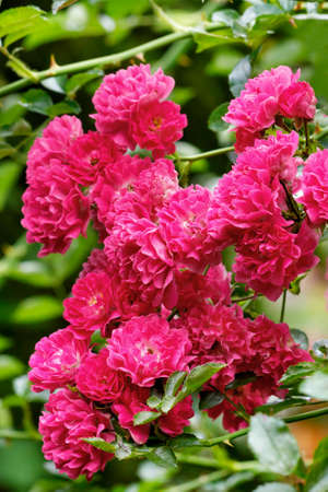 Bouquet of delicate pink-red flowers of a climbing rose with velvet petals in the rays of soft sunlight bloom in the garden against a background of green leaves, vertical image, close-up.