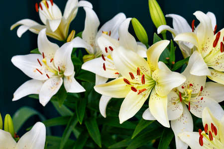 Bouquet of large flowers of a white lily with bright orange stamens in a low key on a dark green background with a slight blur, close-up, copy space, selective focus. Standard-Bild
