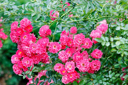Pink-red flowers of a curly rose in the rays of soft sunlight adorn the green garden on a summer day and delight your eyes. Close-up, copy space. Standard-Bild