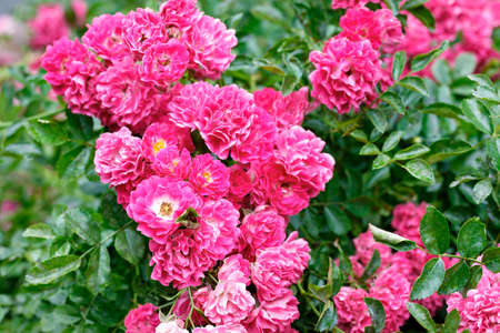 Big pink-red flowers of a curly rose in the rays of soft sunlight adorn the green garden on a summer day.