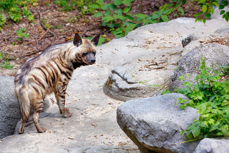 A striped hyena with alert ears walks among the stone boulders on a warm summer day.
