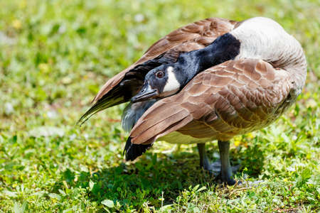 A wild goose with brown plumage with a black beak stretches its neck and hides its head under its wing on a bright sunny day against a background of green grass. Close-up, blur, copy space.