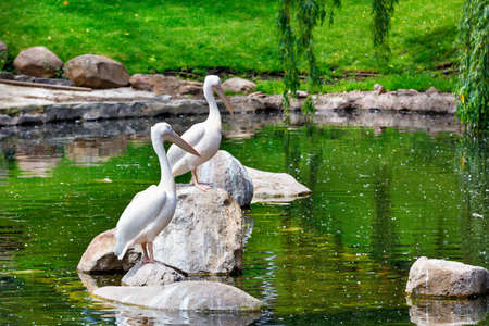 A pair of large white pelicans graceful rest on stone boulders in the middle of a forest lake surrounded by blurred water surface reflections, selective focus.