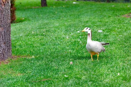 Geese (Anser indicus) walks in a green meadow in a summer park in warm sunshine.