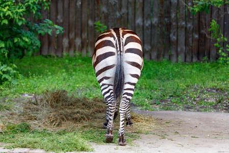 The striped zebra is turned backwards