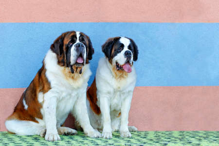 Portrait of a pair of large St. Bernards sitting next to a striped wall in blue and pink, image with copy space. 免版税图像