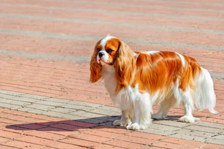 Cavalier King Charles Spaniel looks straight ahead and stands against the backdrop of the sidewalk of red and gray paving stones on a bright sunny day, image with copy space. 免版税图像
